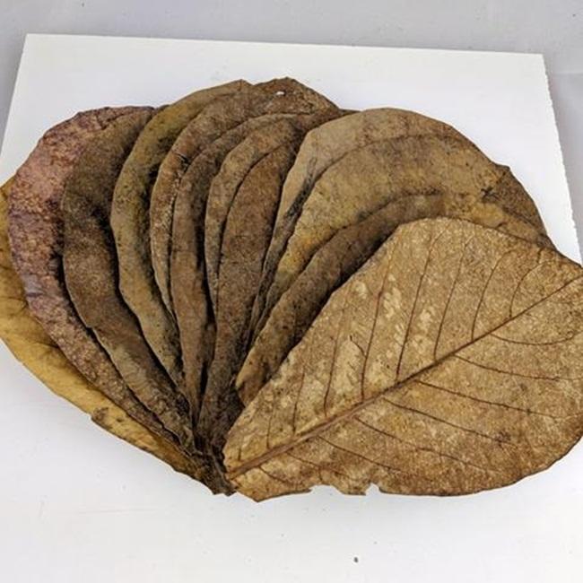 Điểm dễ nhận thấy là lá bàng có thể rụng ở khắp nơi, không phải chăm sóc nhiều mà cây vẫn cho lá để thu hoạch.