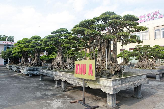 Anh Lê Văn Dũng (TP. Sông Công, Thái Nguyên) là một tay chơi cây cảnh có tiếng bởi cách chơi cây cảnh của anh không giống ai. Trong vườn cây rộng hàng chục hécta có rất nhiều loại cây cảnh, mỗi một loại cây anh có cả bộ sưu tập, cây sanh bonsai là một trong số đó
