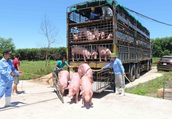 Lợn sống nhập khẩu Thái Lan về Việt Nam có chất cấm: Thực hư thế nào? - 1