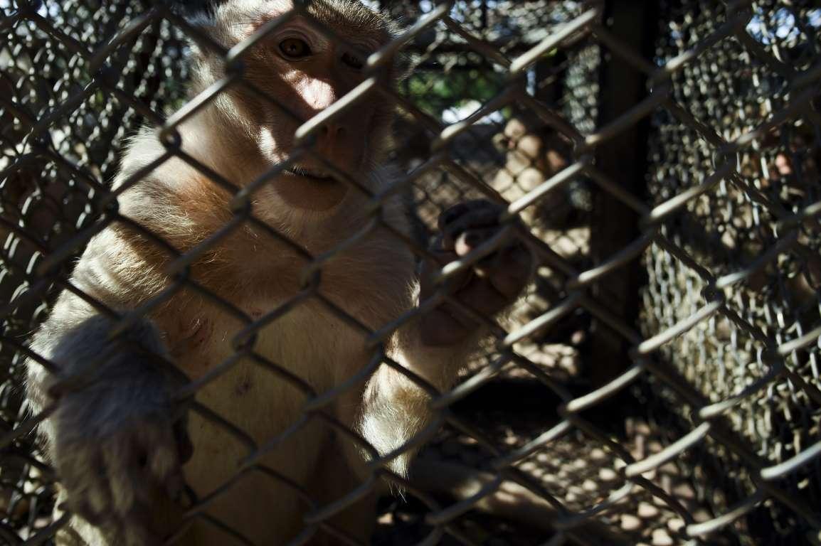 Đe dọa người dân, hàng trăm con khỉ bị thắt ống dẫn tinh, cắt buồng trứng - 1