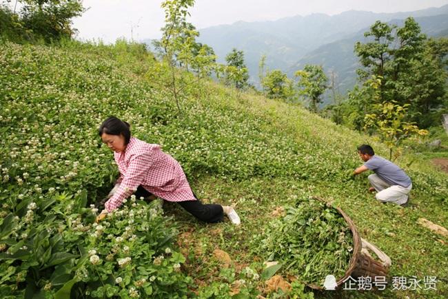 Cách đây hơn 10 năm, 2 vợ chồng chị Cúc Hiền ở Thiểm Tây, Trung Quốc thuê đất trên núi rồi đưa 2 con lợn nái để bắt đầu nuôi lợn kiếm tiền.