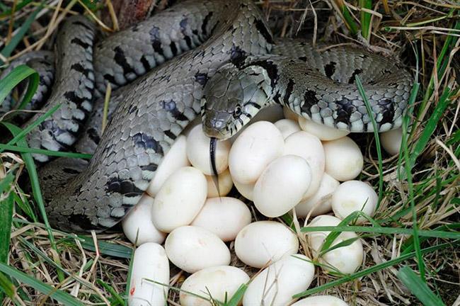"""Trứng rắn luộc, món ăn nghe tên đã thấy """"kinh dị"""", ăn lại thấy ngon đến ngỡ ngàng - 1"""