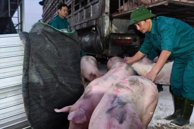 Dịch tả lợn Châu Phi tái phát, lợn hơi trong nước tiếp tục lập đỉnh? - 1