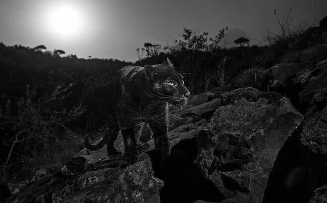 Thực hư thông tin xuất hiện 2 con báo đen trong khu dân cư ở Đồng Nai? - 1