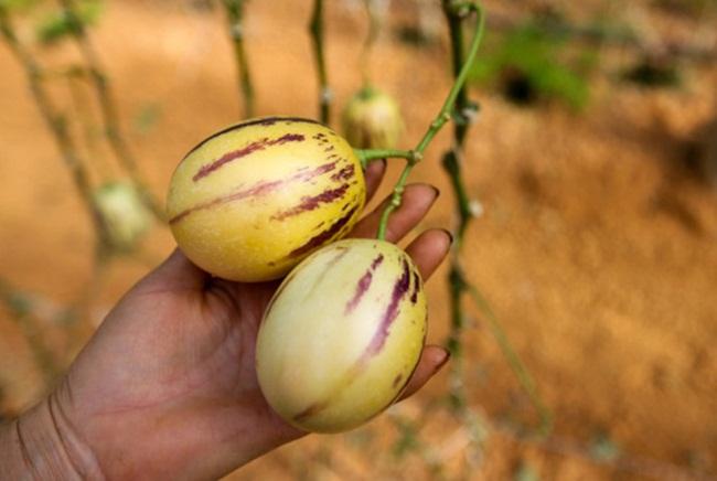 Khi trồng có thể thu tiền nhanh là vì cây sinh trưởng nhanh. Chỉ khoảng 4-6 tháng sau khi trồng, người trồng đã thu hoạch được để bán.