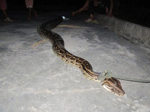 Bắt được trăn gấm nặng hơn 35kg, dài 4m - 1