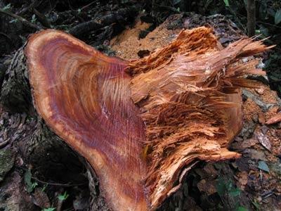 Phá rừng VQG Ba Bể: Cục Kiểm lâm thừa nhận - 1