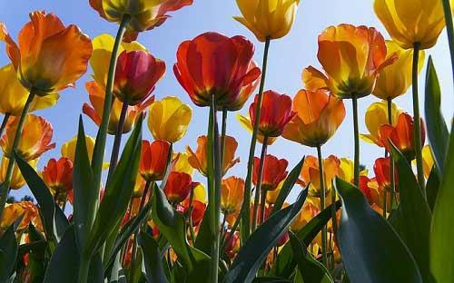 Dừng chân ở xứ sở loài hoa tulip - 1