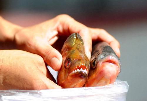 """Bắt được """"cá ăn thịt người"""" ở Trung Quốc - 1"""