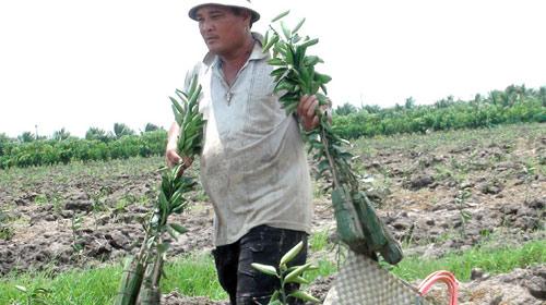 ĐBSCL: lại bỏ lúa trồng cam - 1
