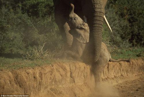 Voi mẹ vỗ về voi con bị ngã - 1