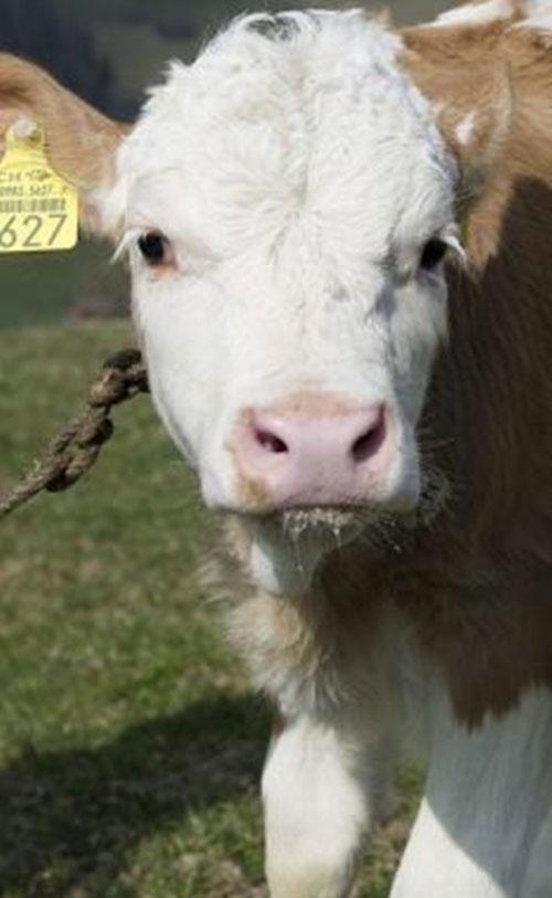 Kỳ lạ bé gái giao tiếp bằng tiếng... bò rống - 1
