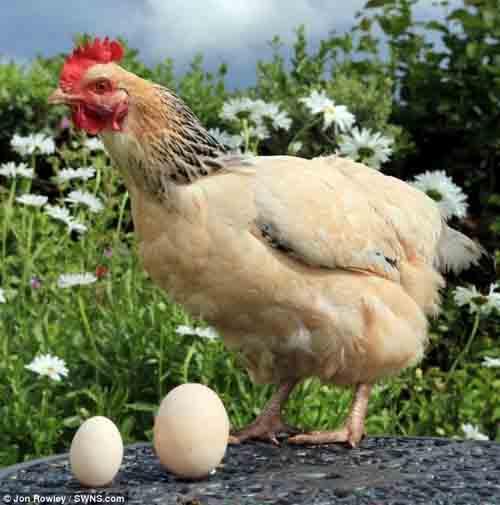 """Gà đẻ trứng """"khủng"""" đúng ngày sinh nhật chủ - 1"""