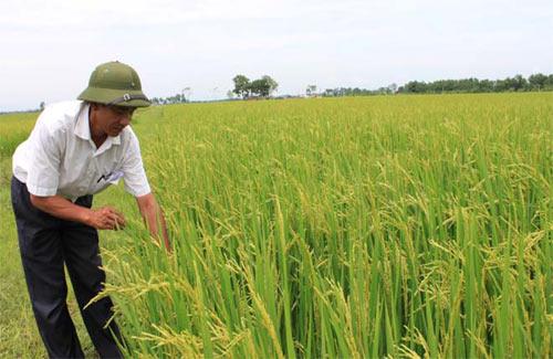 Lúa giống phụ thuộc Trung Quốc - 1