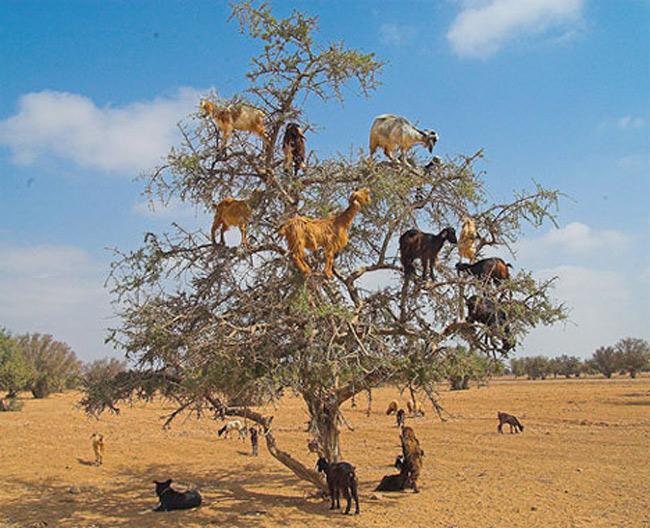"""Bạn nghĩ đó là một bức ảnh photoshop vội vàng khi đặt ra câu hỏi """"Những con dê đó tới từ đâu?"""". Nhưng trên thực tế, đó là một ảnh thật về những con dê thật ở Morroco. Khi thức ăn trở nên thưa thớt trên mặt đất, sinh vật có móng đơn giản học cách trèo lên cây."""