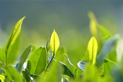 Đẹp da, thon dáng nhờ các loại lá cây - 1