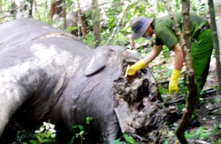 Báo Mỹ nói về thảm cảnh của voi Việt - 1