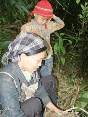 Đổ xô đào bới rễ sim bán sang Trung Quốc - 1