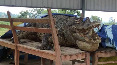 Cá sấu Xiêm hoang dã cuối cùng ở VN đã chết? - 1