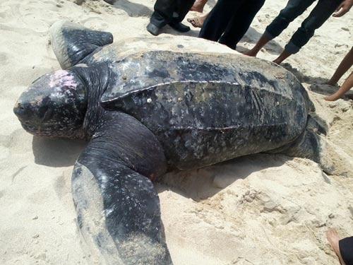 Khánh Hòa: Thả rùa da quý hiếm về biển - 1