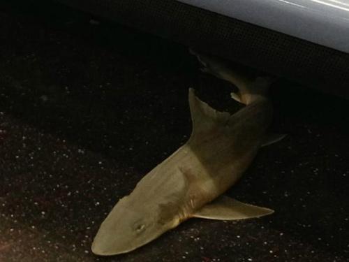 Mỹ: Cá mập bí ẩn trên tàu điện ngầm New York - 1