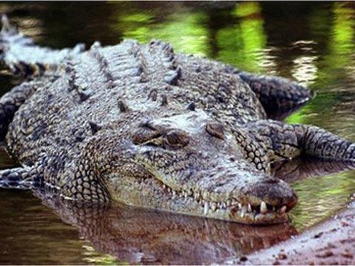 Úc: Cứu người bị cá sấu vây khốn 2 tuần - 1