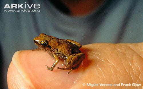 Loài ếch nhỏ nhất thế giới nghe bằng... mồm - 1