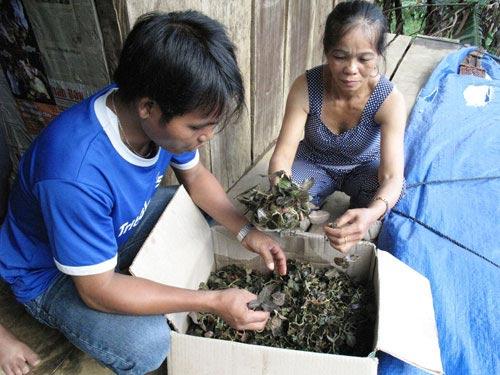 Thương lái TQ giở trò thu mua nấm độc, cỏ dại - 1