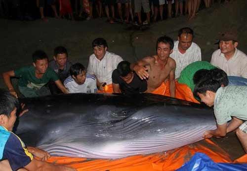 Quảng Ninh: Trăm người giải cứu cá voi khủng - 1