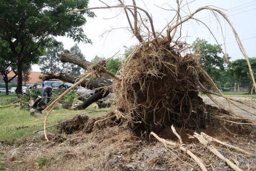 TPHCM: Hàng loạt cây bật gốc ở khu đô thị - 1