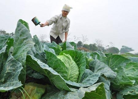Giá rau củ tăng vọt: Nông dân chưa được lợi - 1