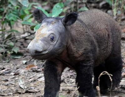 Phát hiện loài tê giác chưa từng thấy ở Thái Lan - 1