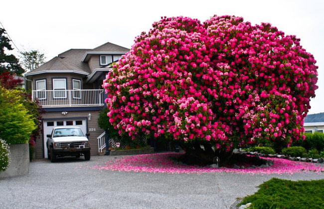 1. Cây đỗquyênở Ladysmith, bang British Columbia, Canada: Cây đỗ quyên tuyệt đẹp này đã có trên 125 năm tuổi. Thậm chí nó còn xuất hiện trên bản đồ Google như một địa danh nổi tiếng.