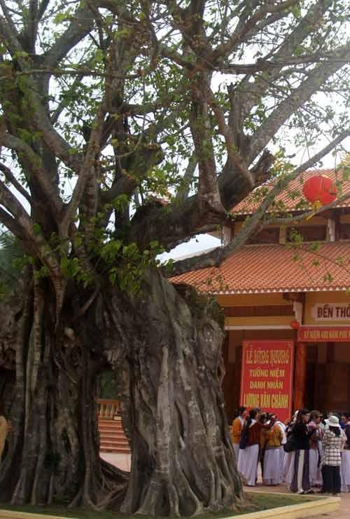 Cây bồ đề gần 200 tuổi được công nhận là cây di sản VN - 1