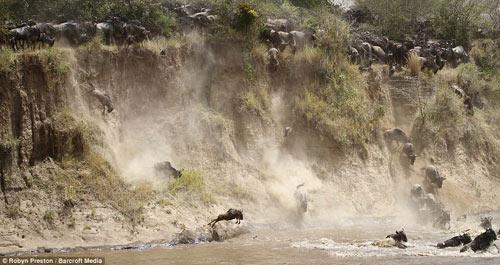 Ảnh: Hàng nghìn linh dương đầu bò vượt sông đầy cá sấu - 1