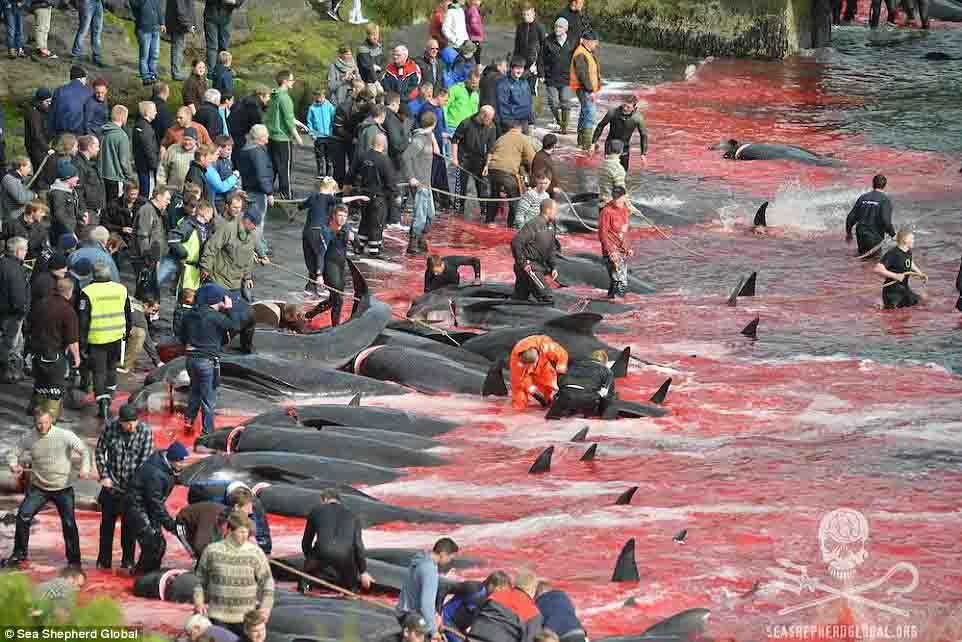 Cận cảnh cuộc đi săn cá voi đẫm máu ở quần đảo Faroe - 1