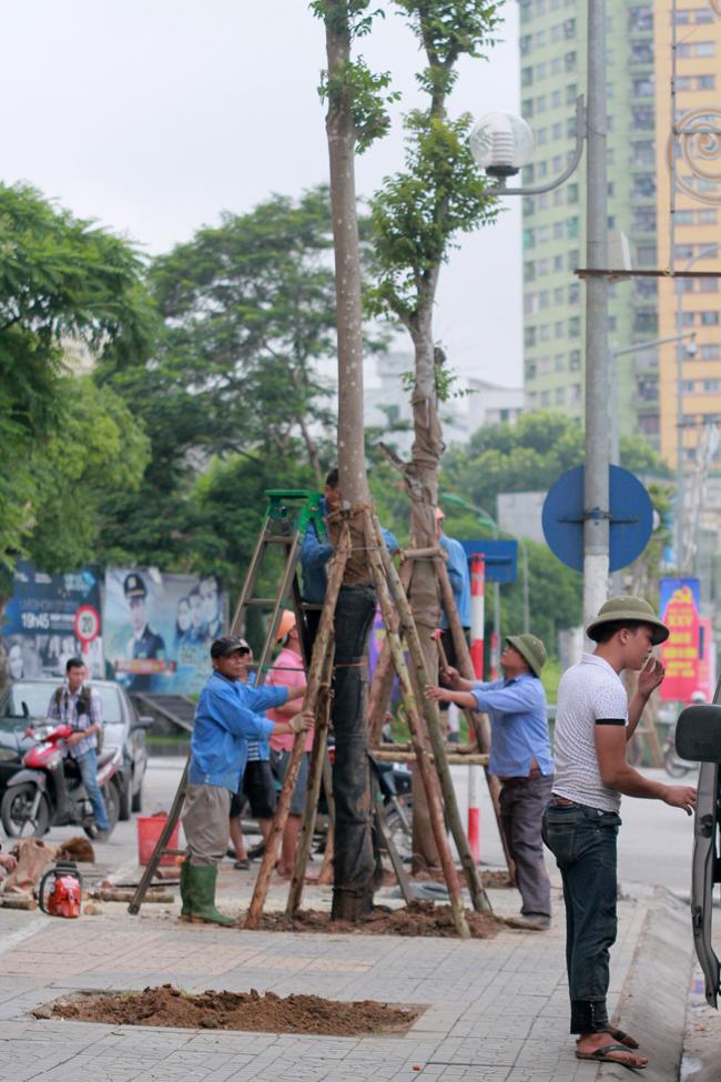 Chùm ảnh hàng cây lát hoa mới trồng trên đường Nguyễn Chí Thanh - 1