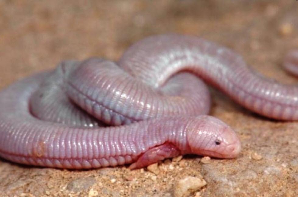 Sinh vật kì dị đầu thằn lằn mình chuột chũi - 1