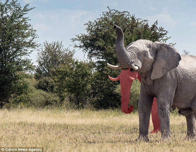 Startling see; elephant 2 nozzles & # 34;  in Africa - 2
