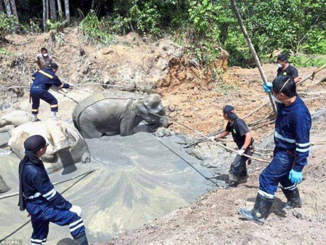 Calculating the depth of mud pit, 7 dwarf elephants die - 2