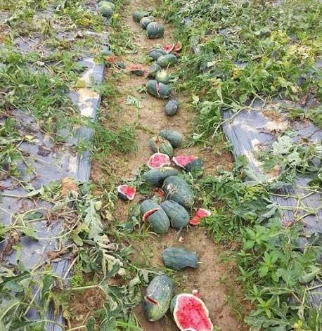 Ăn no tại ruộng, kẻ gian còn đập nát hàng trăm quả dưa hấu - 1