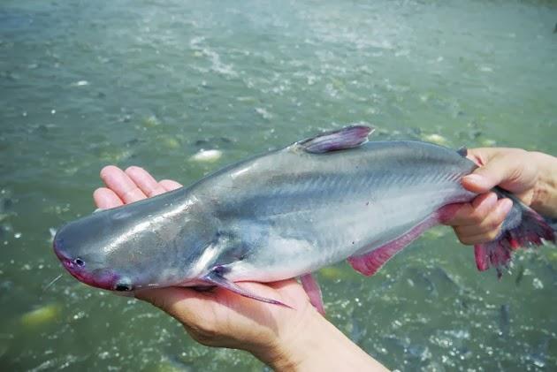 10 món hấp dẫn, tốt cho sức khỏe từ cá bông lau - 1