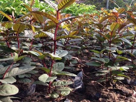Phát sốt vì giống ổi sim ruột tím, có hoa nở giá 1,2 triệu đ/cây - 2