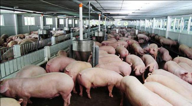 Giá thịt lợn tại Trung Quốc tiếp tục giảm, Bộ NN cảnh báo người chăn nuôi - 1
