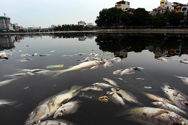 Sau mưa lớn, cá chết lại nổi trắng mặt hồ ở Hà Nội - 1