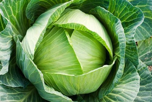 Bắp cải – vị thuốc đa năng - 1