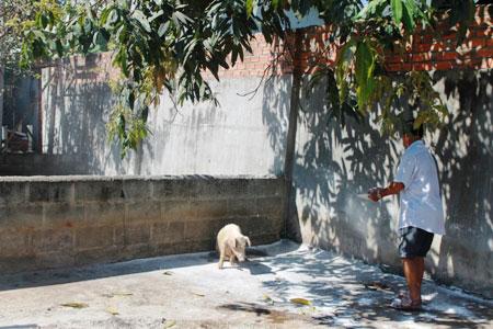 Khánh Hòa: Hơn 150 con lợn chết bất thường, dân chôn không xuể - 4