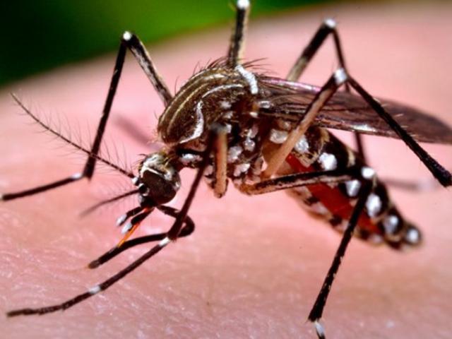 Muỗi đốt người gây sốt xuất huyết hình dáng thế nào?
