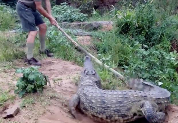 Chuyên gia cá sấu cầm gậy chọc cá sấu khổng lồ và cái kết - 1