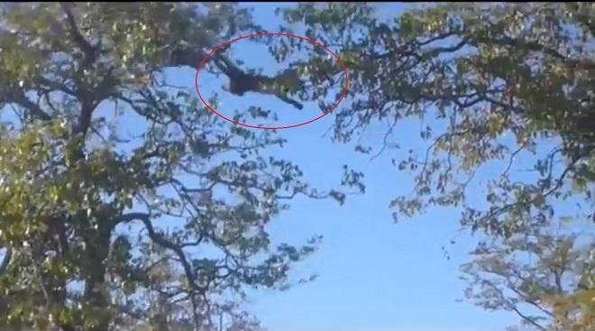 Dại dột đuổi sóc bay, báo lao đầu từ ngọn cây xuống đất - 1